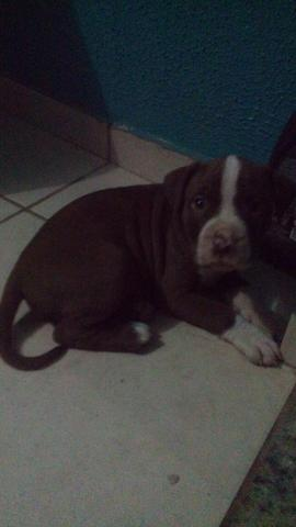 American bully com pitty bull