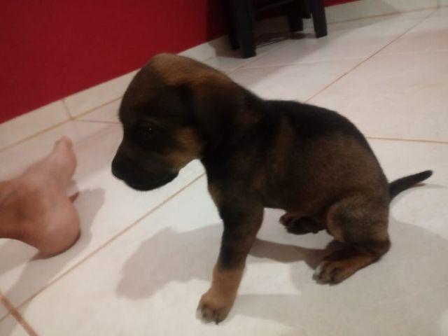 72bf54f1ff filhotes de cachorro fila puro [ OFERTAS ] | Vazlon Brasil